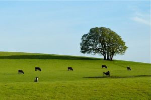 Bald Hill Cows 3 working lands – Photo by Greenbelt Land Trust