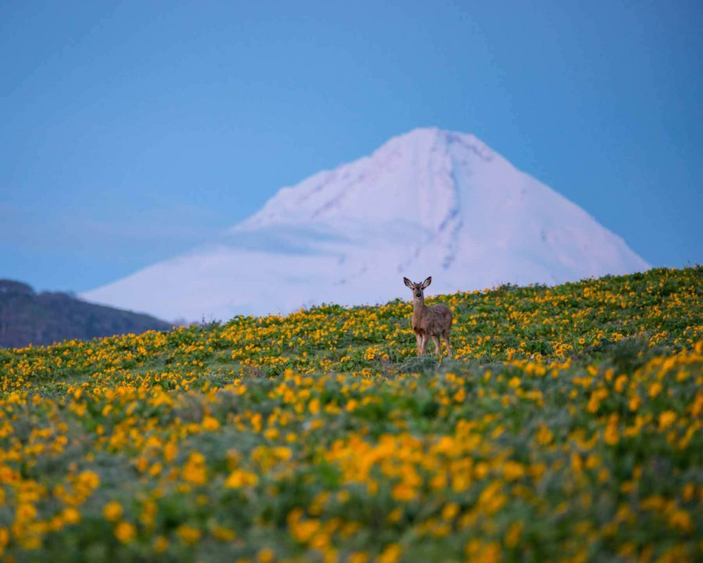 A black-tailed deer stands in a wildflower meadow with a snowy mountain backdrop at the Land Trust's conserved lands just outside The Dalles, Oregon. Photo by Brian Chambers Photography