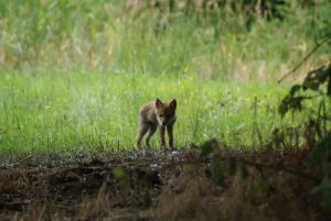MRT_Coyote pup on Berggren Watershed Conservation Area. Photo Credit: Brandi Ferguson