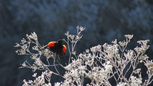 Red-winged blackbird, Klamath birding. Photo Credit: Kyle Strauss