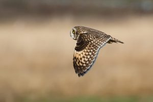 Short eared owl. Photo Credit: Karie LeFebvre Gonor