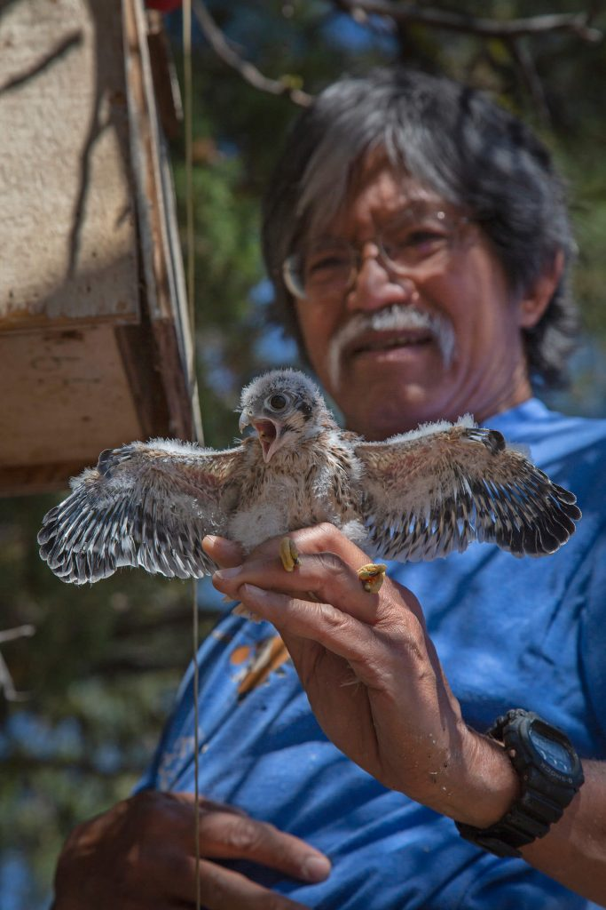 Satch Esperancilla with the American Kestrel Partnership holds a young kestrel for banding by Jay Mather