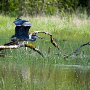 Greenbelt Land Trust. Great blue heron. Credit: George Gentry