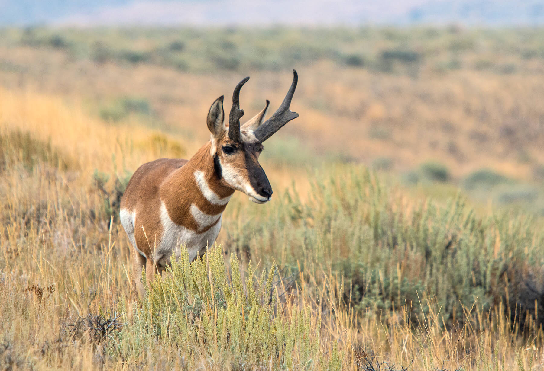 ODLT photo2_pronghorn by Greg Burke