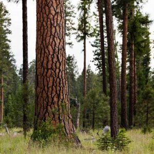 Ponderosa pine at Metolius preserve by Tyler Roemer