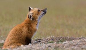 Washington fox. Photo Credit: Karie LeFebvre Gonor