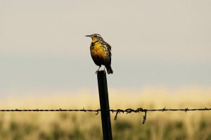 The Nature Conservancy. Western Meadowlark