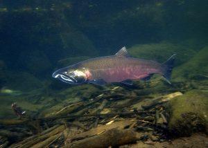 Coho salmon. Rick Swart/Oregon Deparment of Fish and Wildlife