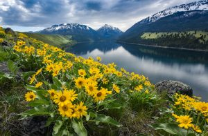 Arrowleaf balsamroot on the East Morraine