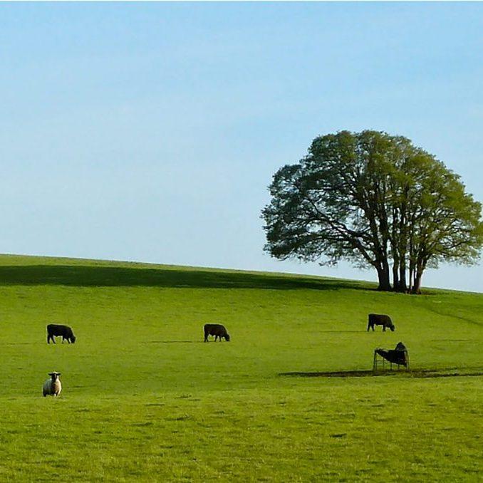 Bald Hill Cows 3 working lands. Photo Credit: Greenbelt Land Trust