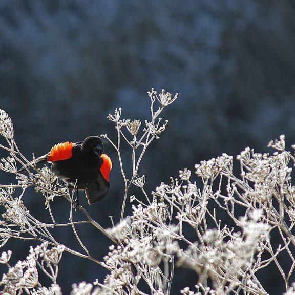 Red-winged blackbird, Klamath birding. Photo Credit: Kyle Strauss