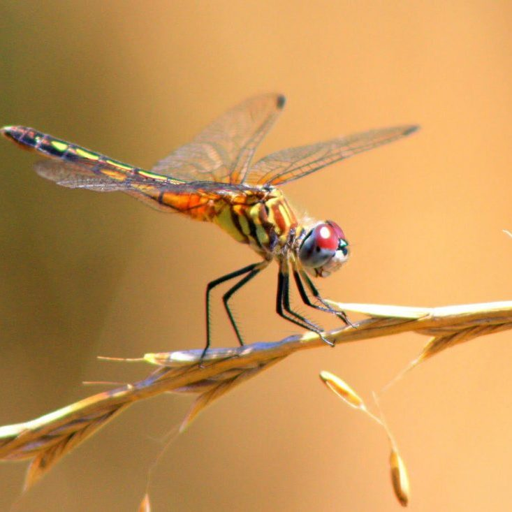 The Wetlands Conservancy. Firefly by Michele Ray, Female Blue Dasher